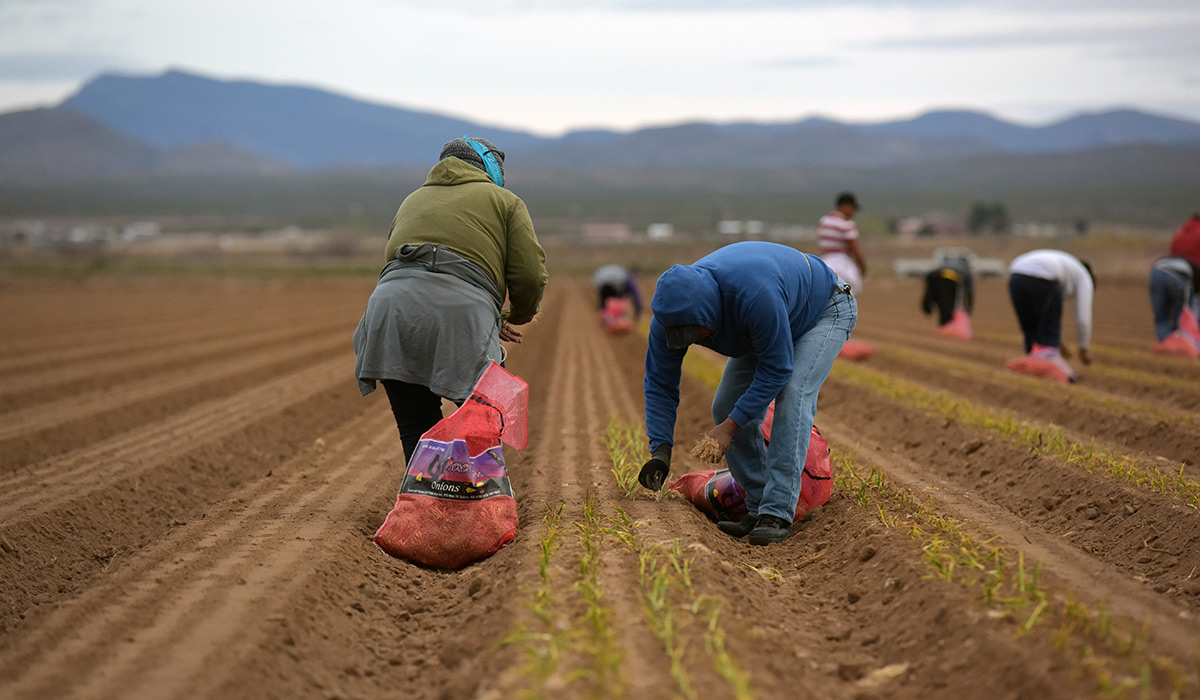 Two students planting onions in a field.
