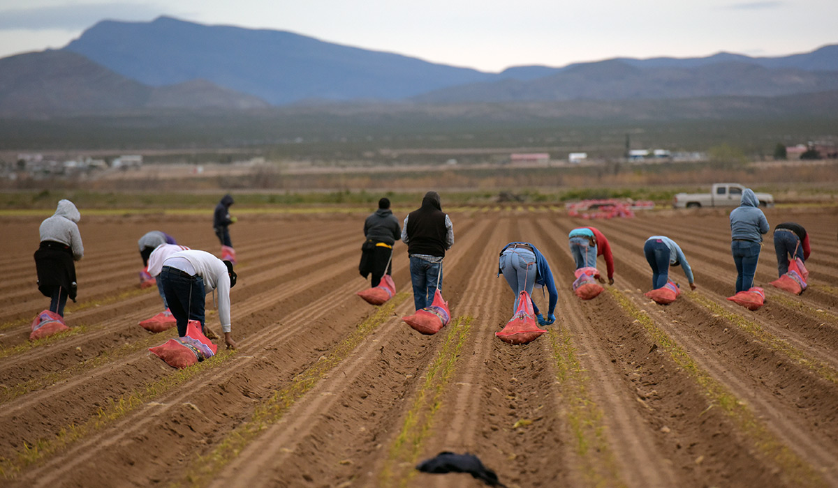 Many students planting onions in a field.