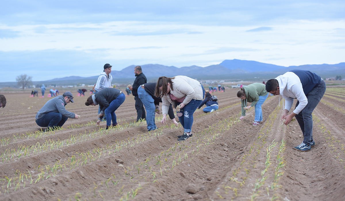 Students bent over planting onions.