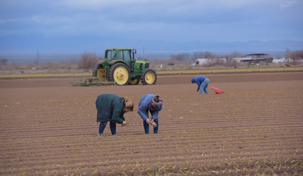 Two students planting onions. A tractor is in the background.