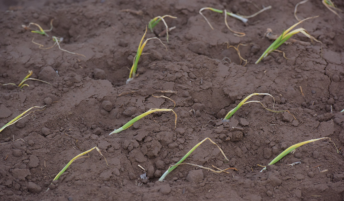 Onions planted in soil.