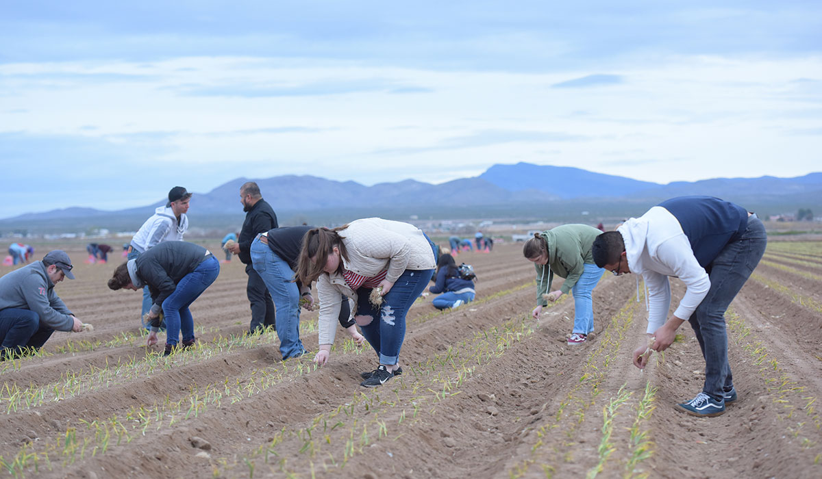 Students planting in onion field