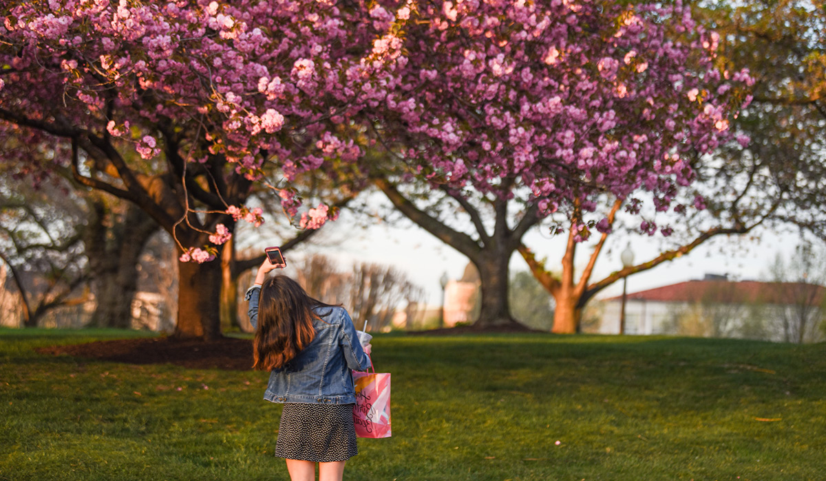 Student taking a photo of cherry blossom trees